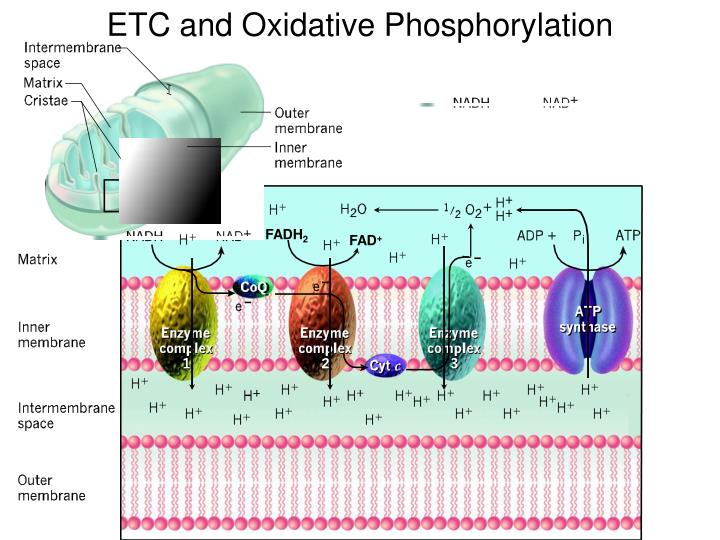 ETC and Oxidative Phosphorylation