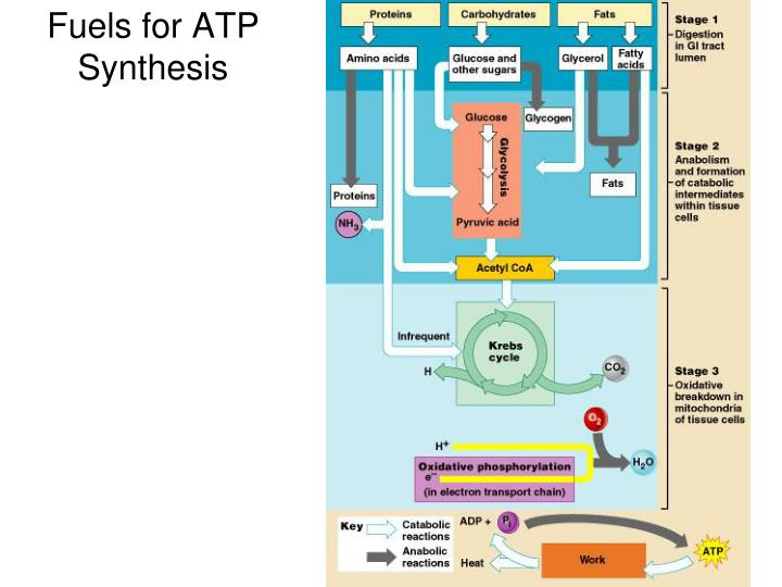 Fuels for atp synthesis