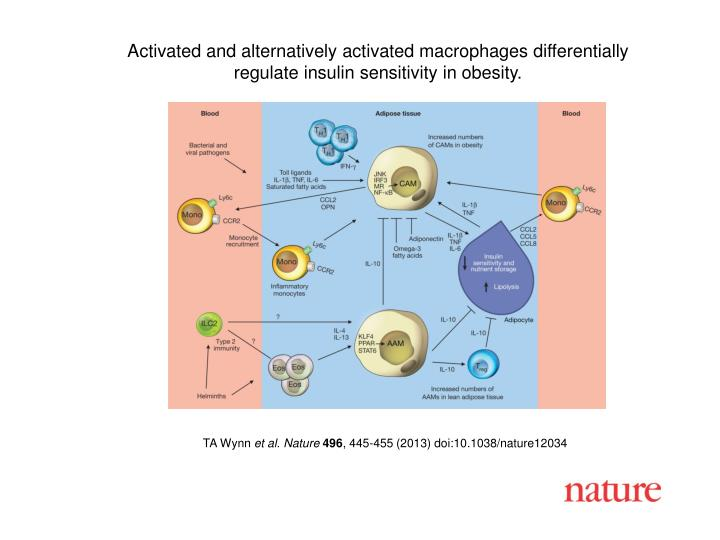 Activated and alternatively activated macrophages differentially
