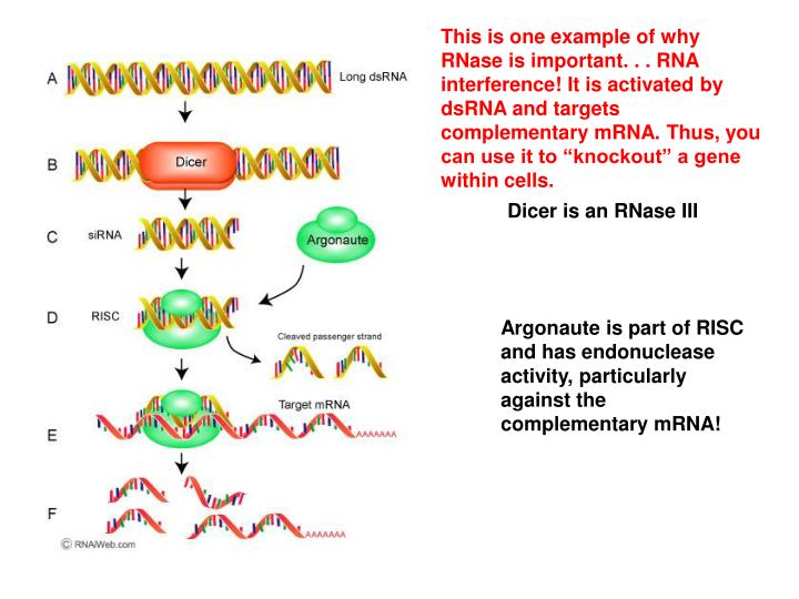 "This is one example of why RNase is important. . . RNA interference! It is activated by dsRNA and targets complementary mRNA. Thus, you can use it to ""knockout"" a gene within cells."