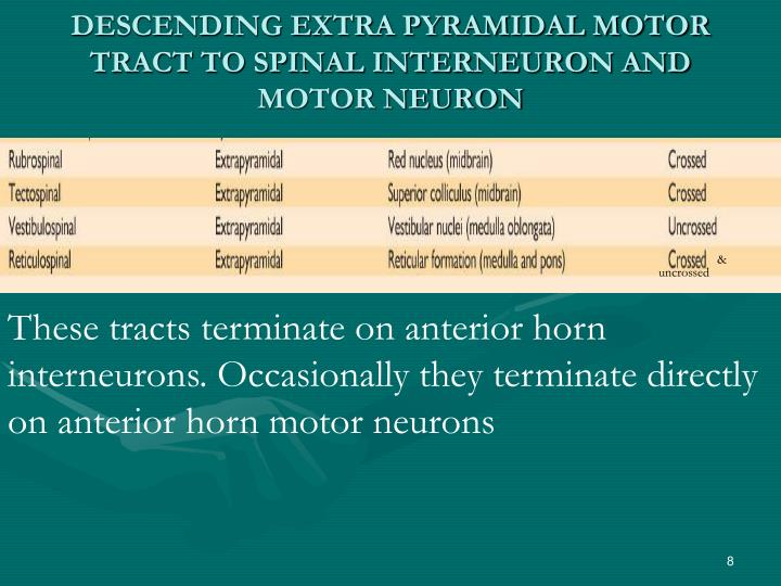 DESCENDING EXTRA PYRAMIDAL MOTOR TRACT TO SPINAL INTERNEURON AND MOTOR NEURON