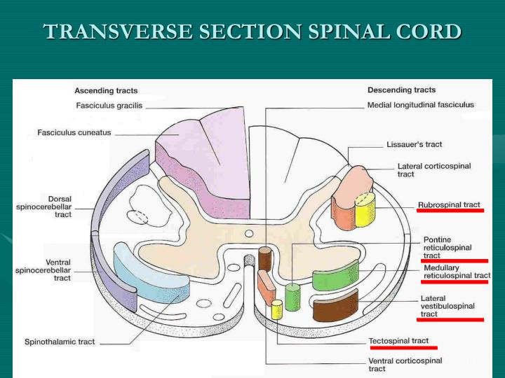 TRANSVERSE SECTION SPINAL CORD