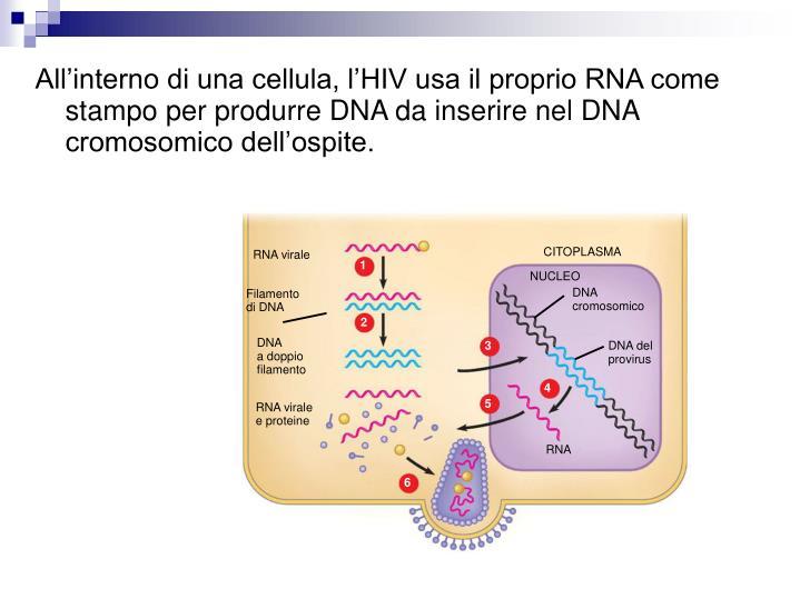 All'interno di una cellula, l'HIV usa il proprio RNA come stampo per produrre DNA da inserire nel DNA cromosomico dell'ospite.
