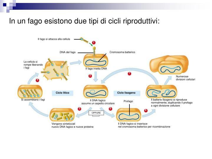 Il fago si attacca alla cellula