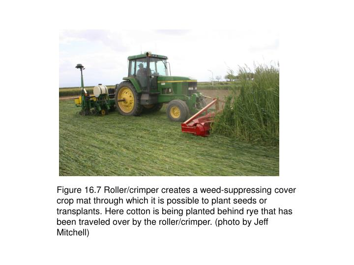 Figure 16.7 Roller/crimper creates a weed-suppressing cover crop mat through which it is possible to plant seeds or transplants. Here cotton is being planted behind rye that has been traveled over by the roller/crimper. (photo by Jeff Mitchell)