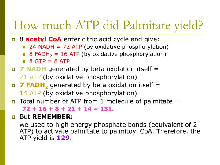 How much ATP did Palmitate yield?