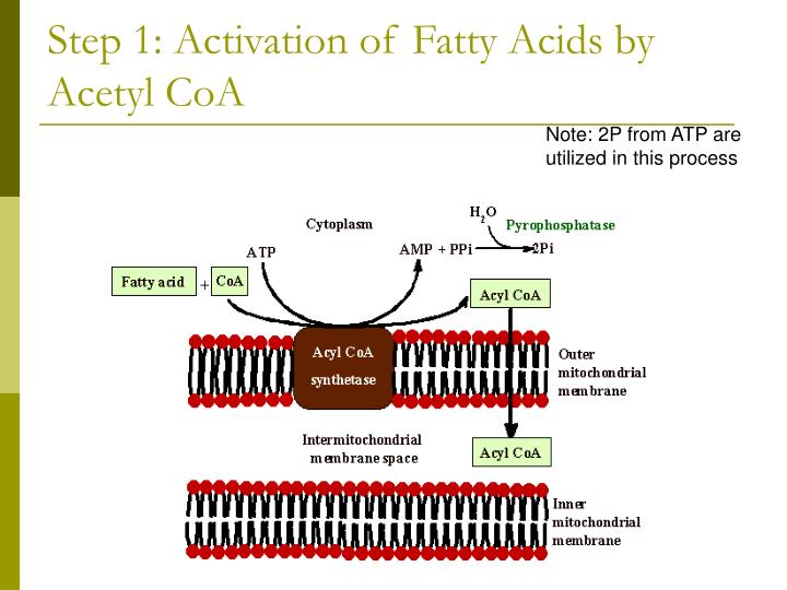 Step 1: Activation of Fatty Acids by Acetyl CoA