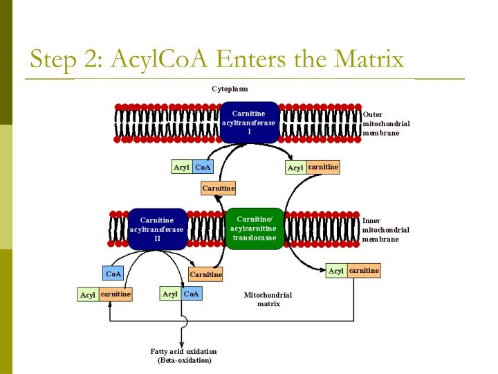Step 2: AcylCoA Enters the Matrix