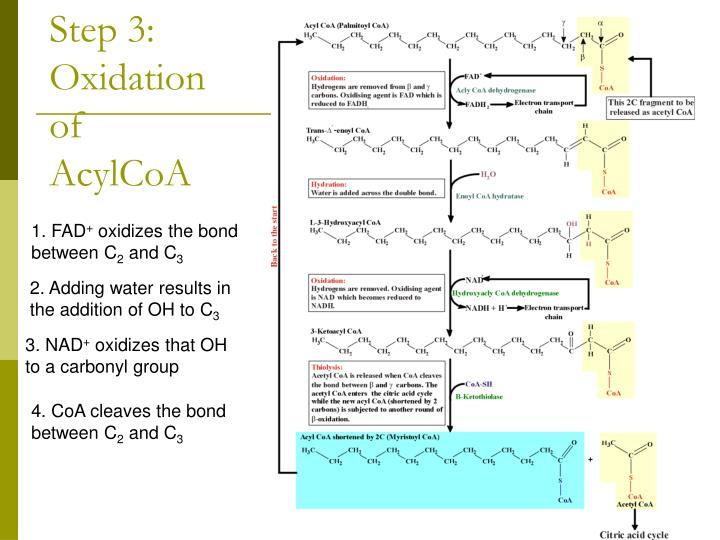 Step 3: Oxidation of AcylCoA