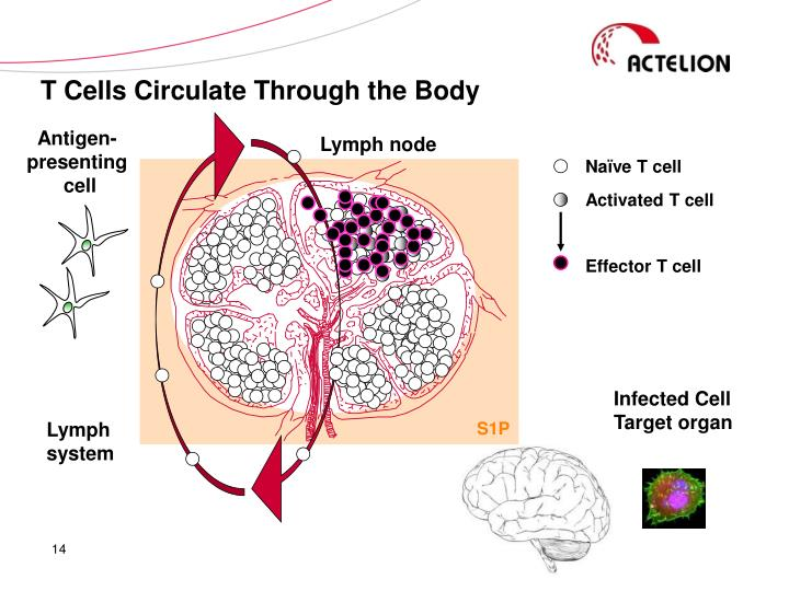 T Cells Circulate Through the Body