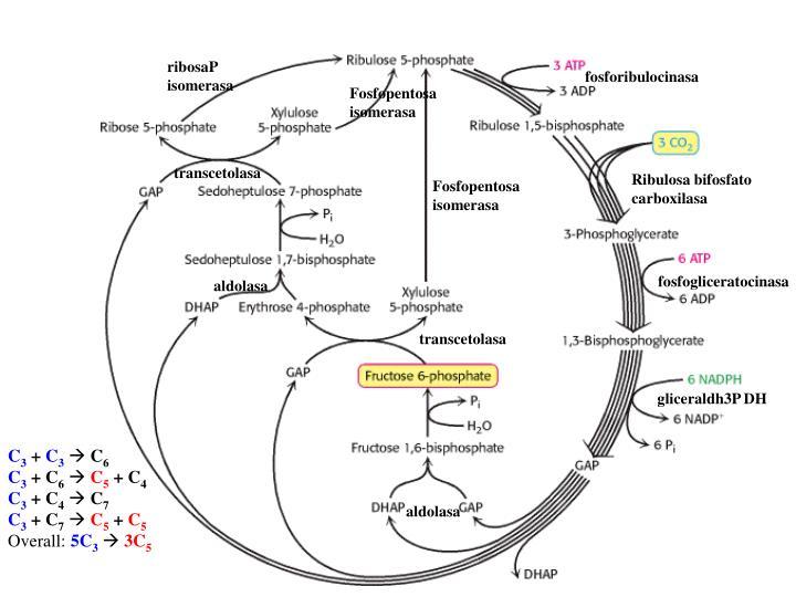 ribosaP isomerasa