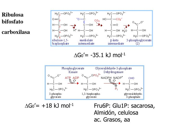 Ribulosa bifosfato