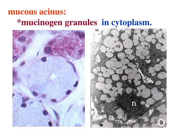 mucous acinus: