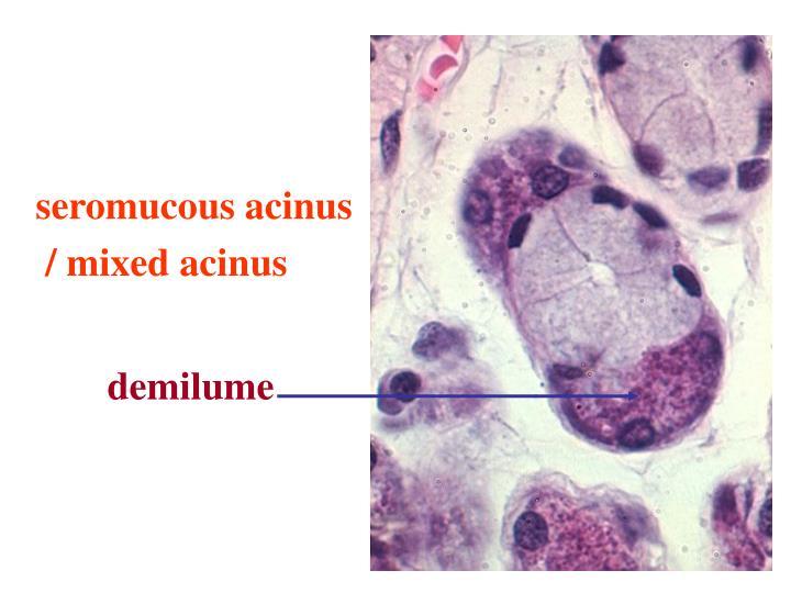 seromucous acinus