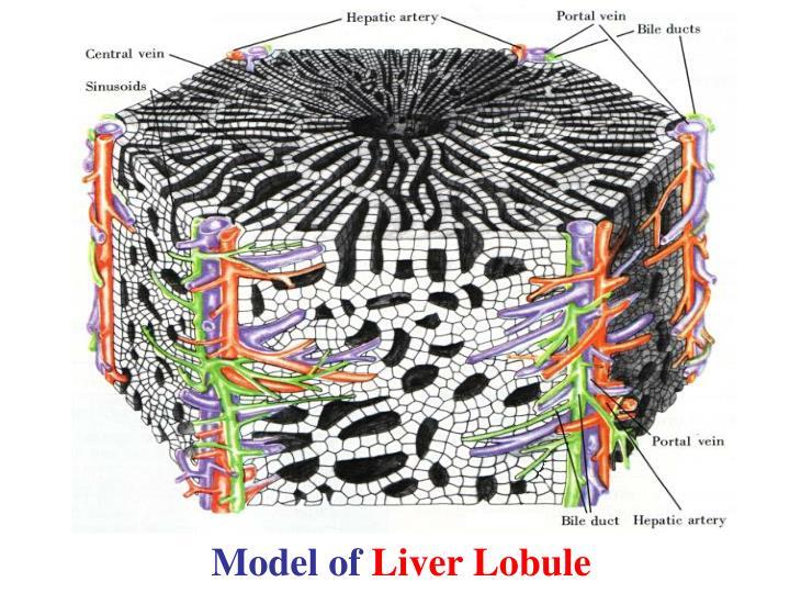 Model of