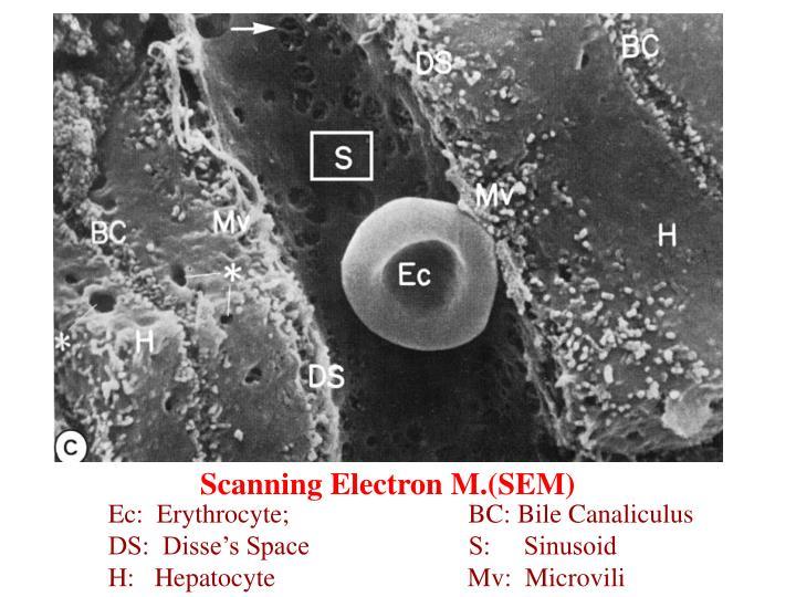 Scanning Electron M.(SEM)
