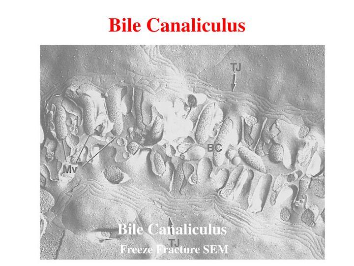 Bile Canaliculus