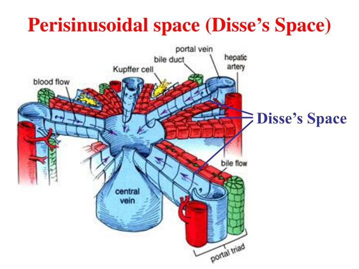 Perisinusoidal space (Disse's Space)