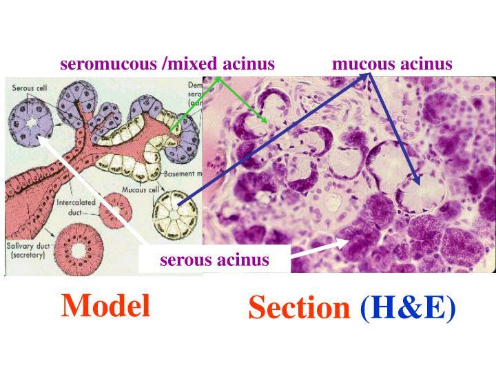 seromucous /mixed acinus