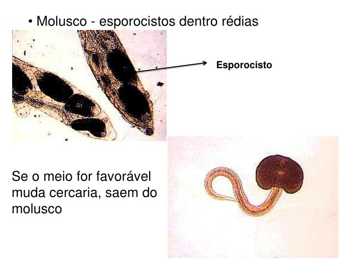Molusco - esporocistos dentro rédias