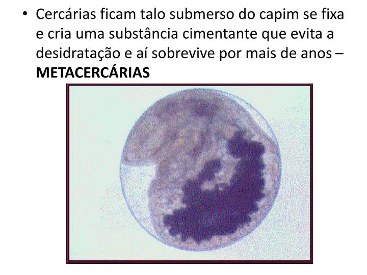Cercárias ficam talo submerso do capim se fixa e cria uma substância cimentante que evita a desidratação e aí sobrevive por mais de anos –