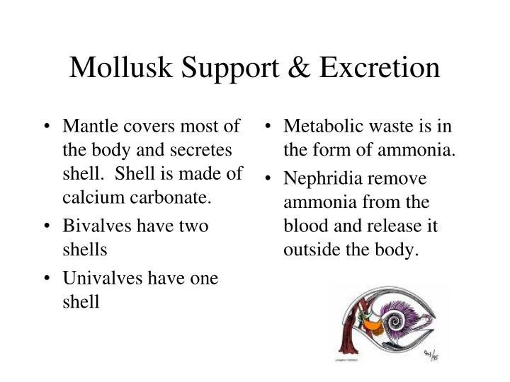 Mantle covers most of the body and secretes shell.  Shell is made of calcium carbonate.