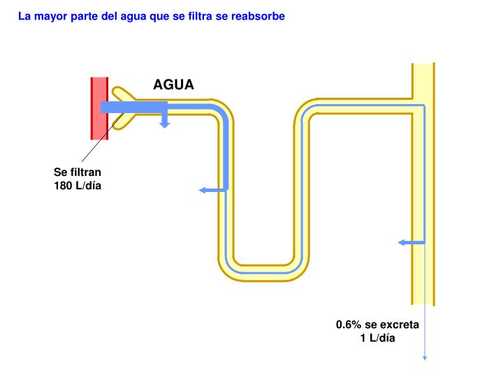La mayor parte del agua que se filtra se reabsorbe