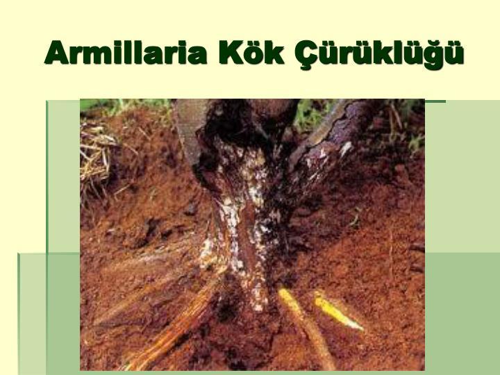 Armillaria Kök Çürüklüğü