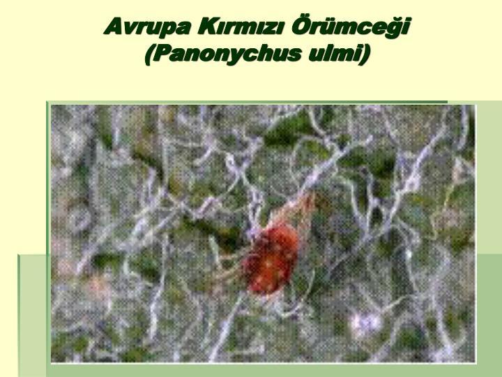 Avrupa Kırmızı Örümceği (Panonychus ulmi)