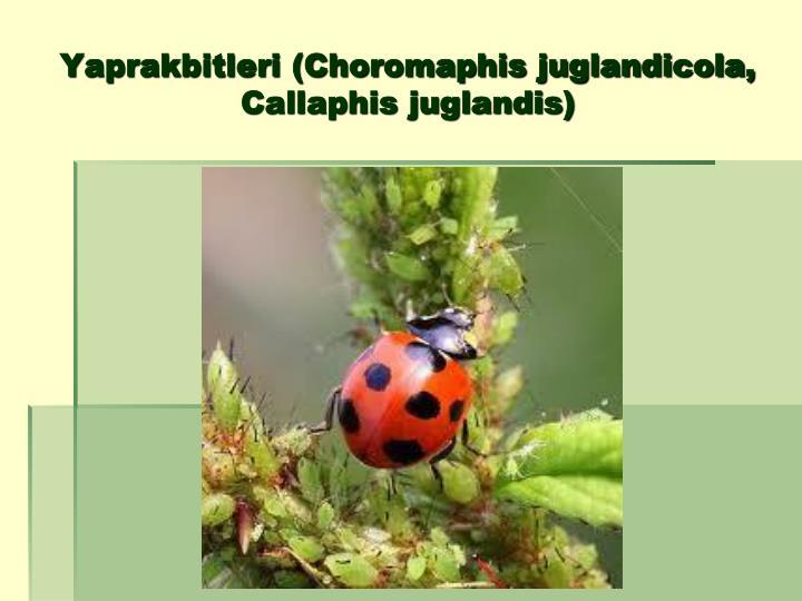 Yaprakbitleri (Choromaphis juglandicola, Callaphis juglandis)
