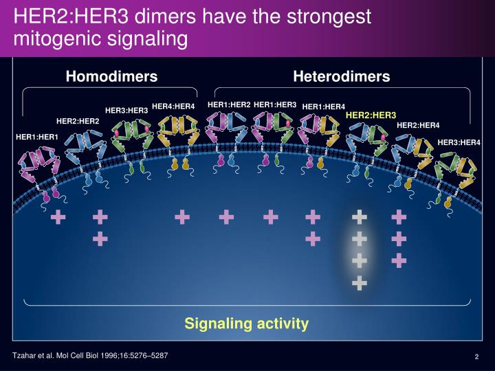 Her2 her3 dimers have the strongest mitogenic signaling