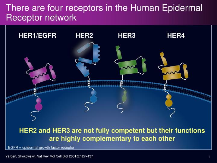 There are four receptors in the human epidermal receptor network