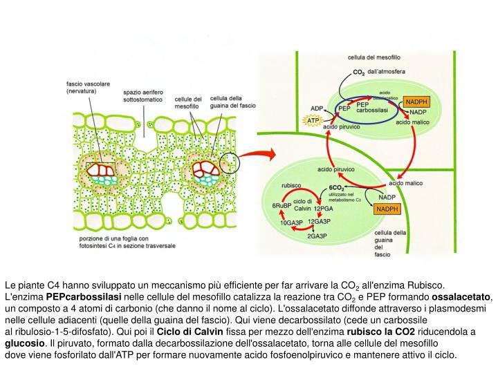 Le piante C4 hanno sviluppato un meccanismo più efficiente per far arrivare la CO