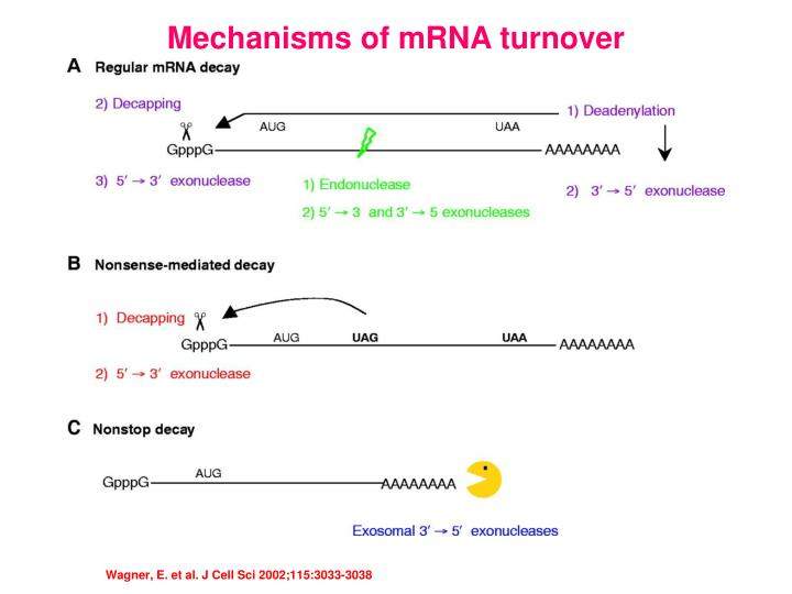 Mechanisms of mRNA turnover