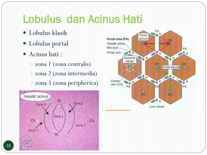 Lobulus  dan Acinus Hati