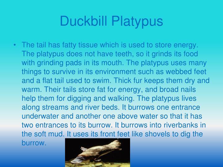 Duckbill Platypus