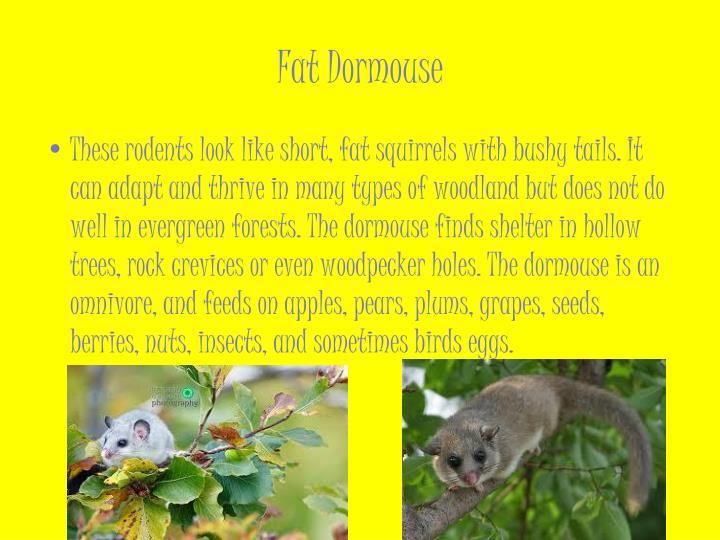 Fat Dormouse