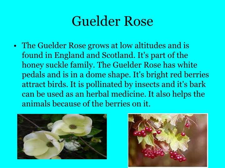 Guelder Rose