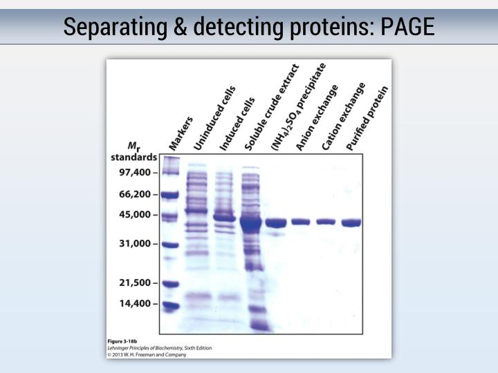 Separating & detecting proteins: