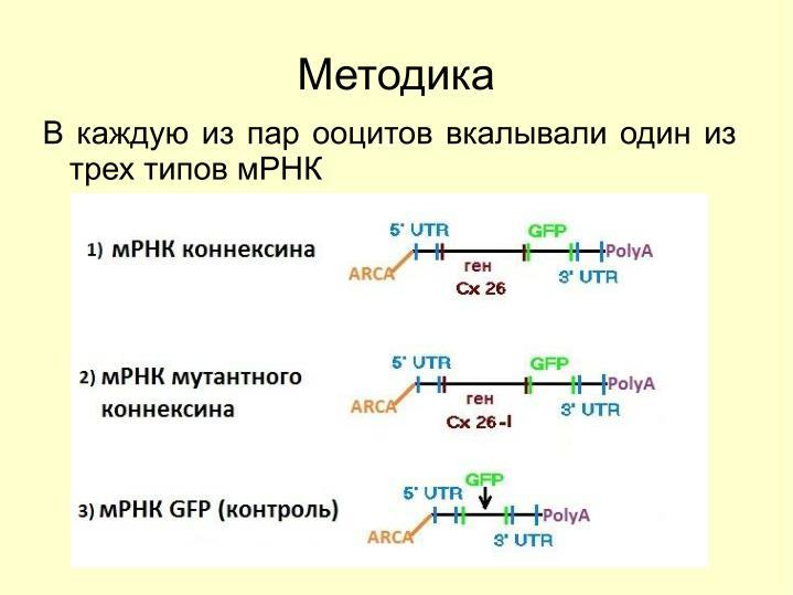 В каждую из пар ооцитов вкалывали один из трех типов мРНК