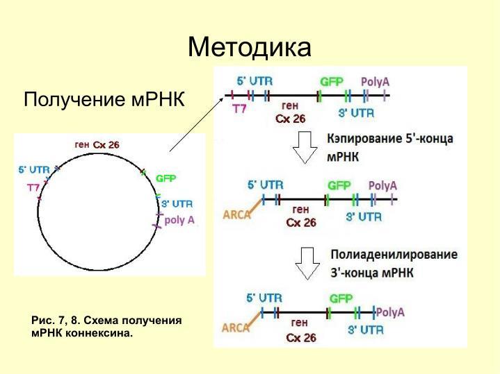 Получение мРНК