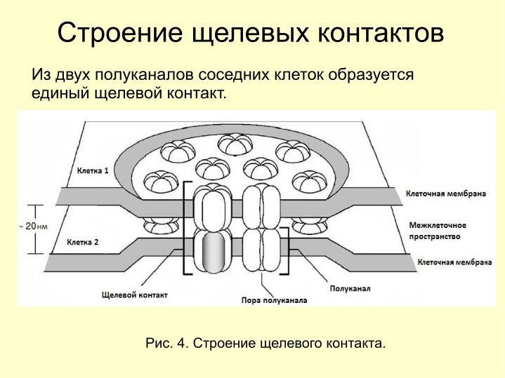 Строение щелевых контактов
