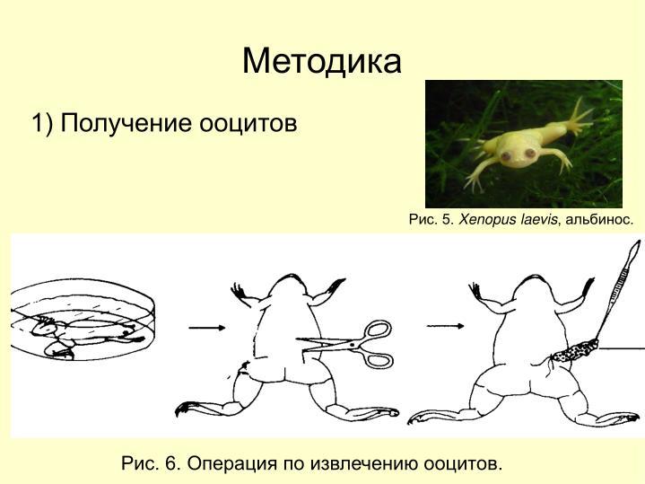 1) Получение ооцитов