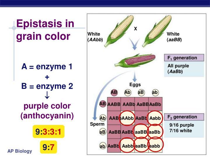 Epistasis in grain color