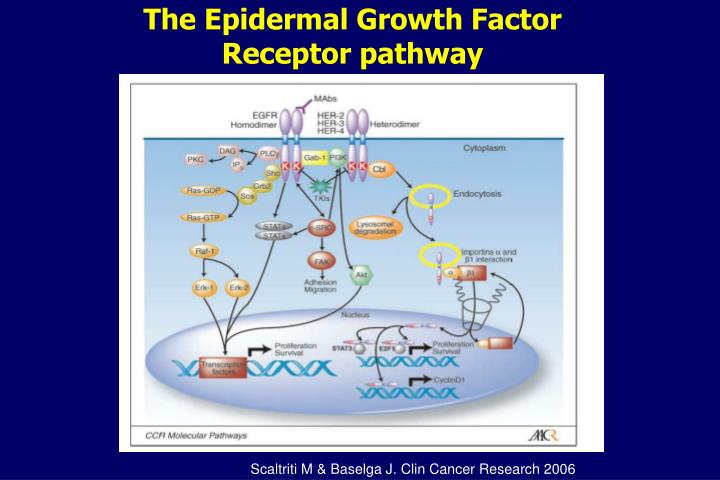 The Epidermal Growth Factor Receptor pathway
