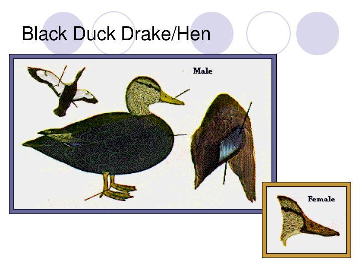 Black Duck Drake/Hen