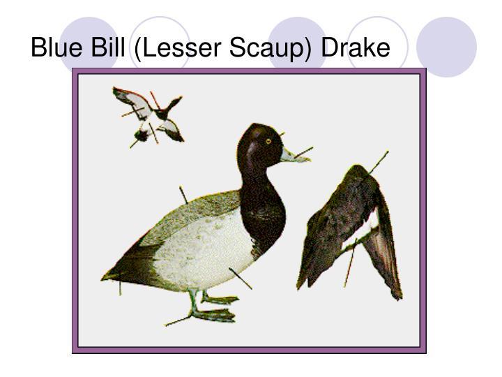 Blue Bill (Lesser Scaup) Drake