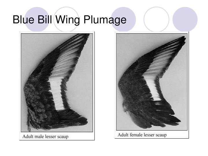 Blue Bill Wing Plumage
