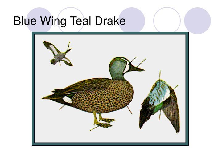Blue Wing Teal Drake