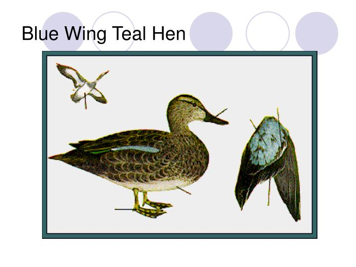 Blue Wing Teal Hen